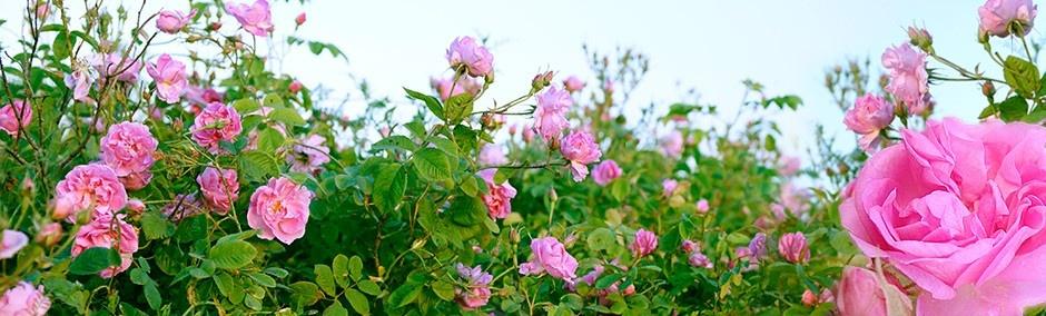 گلاب کاشان