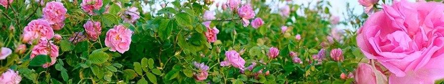 گلاب سنتی کاشان