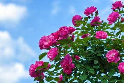 فصل گلاب گیری کاشان